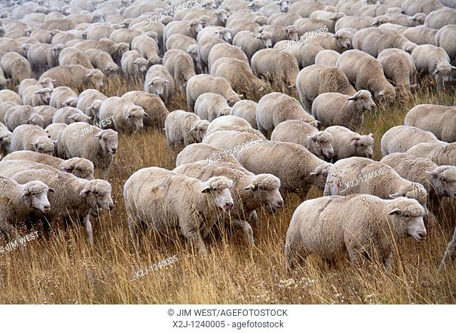 Manassa, Colorado - A flock of sheep is moved to a winter pasture in Colorado's San Luis Valley