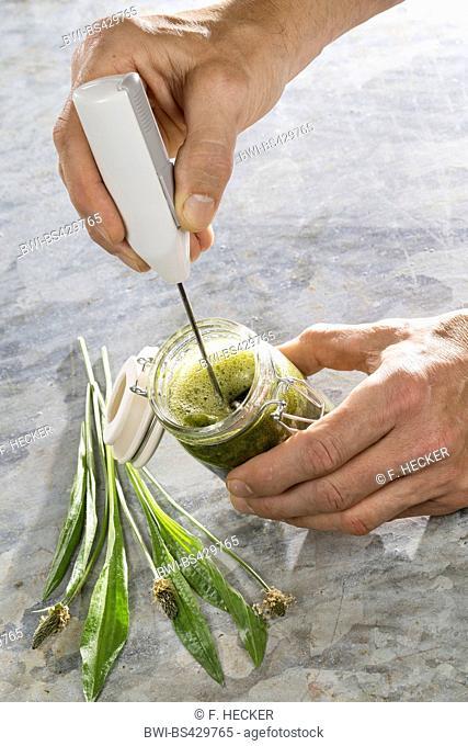 buckhorn plantain, English plantain, ribwort plantain, rib grass, ripple grass (Plantago lanceolata), tincture from buckhorn plantain is made, Germany