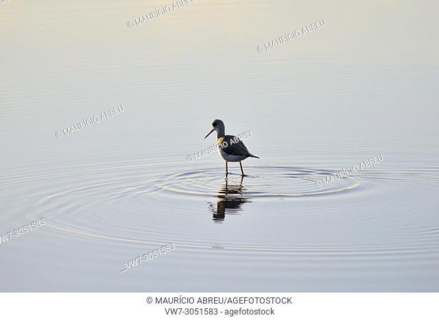 Black-winged Stilt (Himantopus himantopus) in the marshes of the Sado Estuary Nature Reserve. Bonita, Portugal