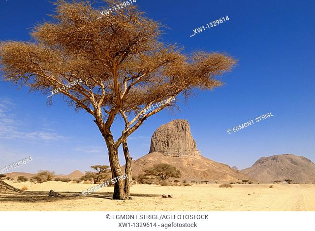 Acacia tree with Iharen Mountain, Hoggar, Ahaggar, Wilaya Tamanrasset, Algeria, North Africa