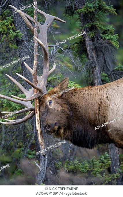 Male Elk, Cervus canadensis nelsoni, Rocky Mountains, Alberta, Canada