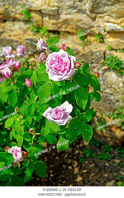 Jardin Médivial, Rosenblüten, Sorte, alt
