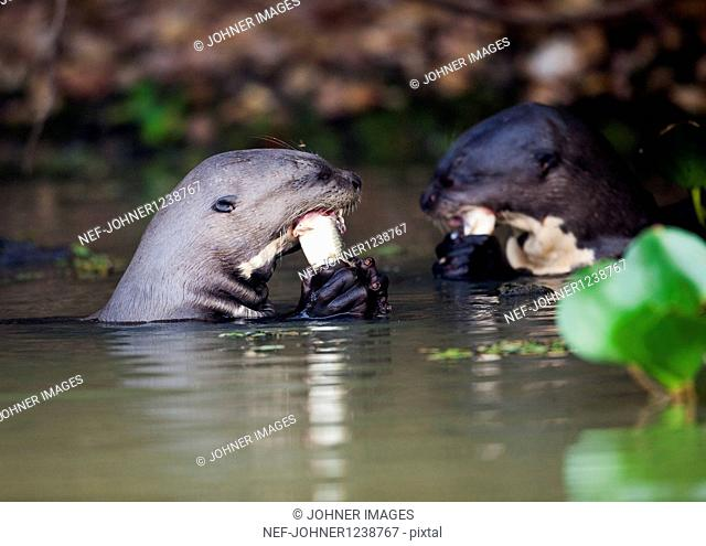 Two Giant Otters in water feeding with fish