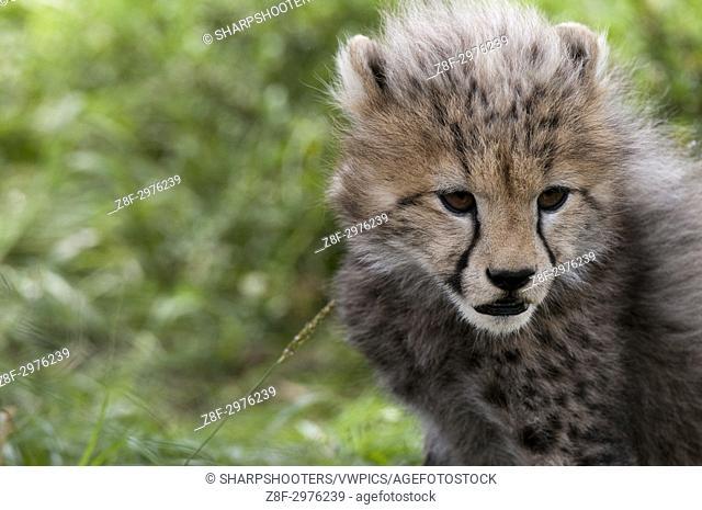 Cheetah cub (Acynonix jubatus), Masai Mara, Kenya