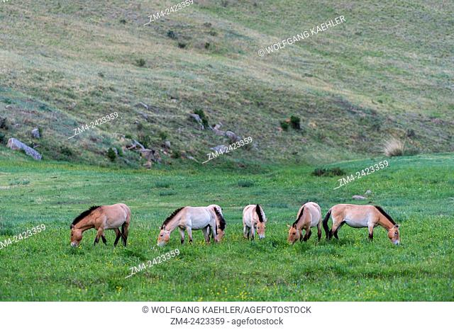 Grazing Przewalski horses (Equus przewalskii) or Takhi, the only still living wild ancestor of the domestic horses, at Hustai National Park, Mongolia