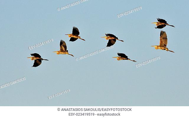 Flock of Purple Herons - Ardea purpurea during migration, Crete
