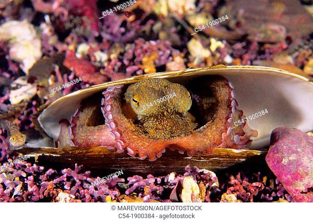 Octopus shielding inside a dead Common otter shell  Octopus Octopus vulgaris  Eastern Atlantic  Galicia  Spain