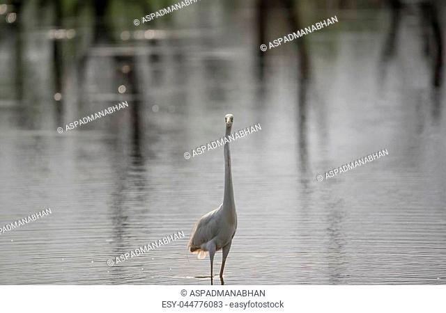 Great White Egret in a river looking straight to the camera