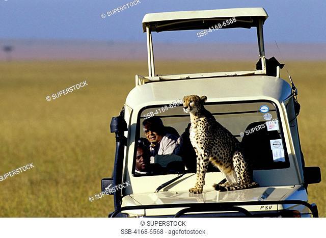 kenya, masai mara, cheetah sitting on hood of safari vehicle