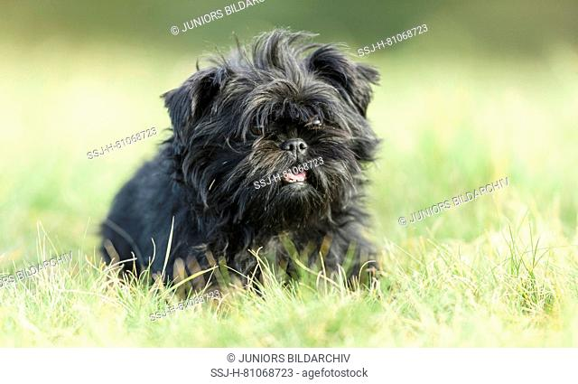 Monkey Terrier. Adult dog sitting on a meadow. Germany