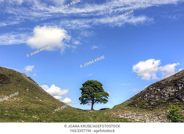 Sycamore Gap, Northumberland, England, UK, Europe