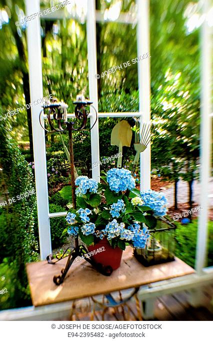 A garden vignette showing a potted flowering hydrangea on a table.Georgia USA