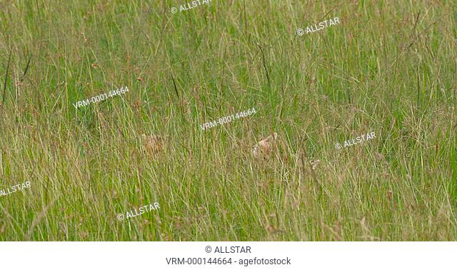 CHEETAH CUBS IN LONG GRASS; MAASAI MARA, KENYA, AFRICA; 29/01/2016