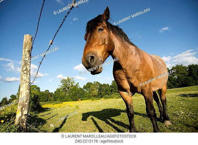 Close-up of a horse behind a barbed wire fence. Saint-Michel-sur-Loire, Indre-et-Loire, Centre region, Loire valley, France, Europe