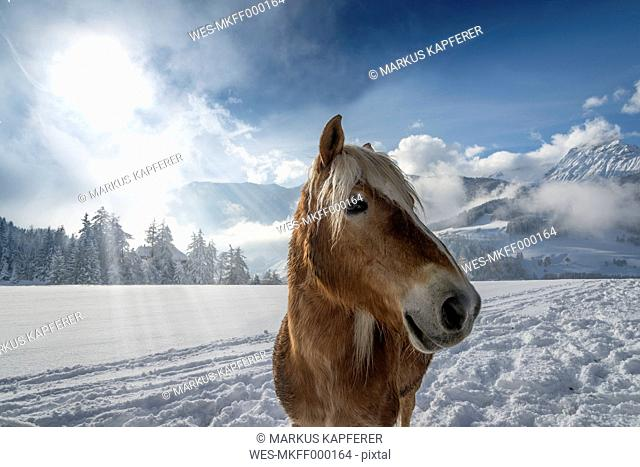 Austria, Tyrol, Wipptal, horse in snow