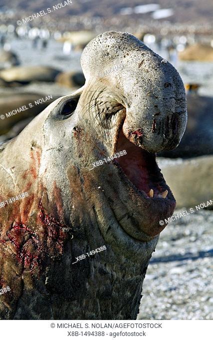 Bull southern elephant seal Mirounga leonina on South Georgia Island in the Southern Ocean  MORE INFO The southern elephant seal is not only the most massive...