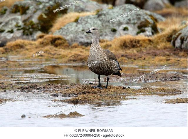 Blue-winged Goose Cyanochen cyanopterus adult, standing in upland bog, Bale Mountains N P , Oromia, Ethiopia, april
