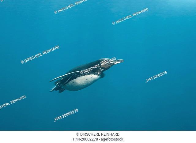 Penguin, Spheniscus mendiculus, Punta Vicente Roca, Galapagos, Isabela Island, Ecuador