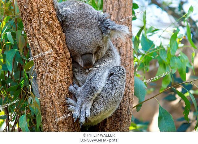 Portrait of koala bear sleeping in tree, Australia