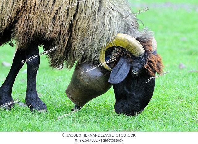 Sheep.Pirineos Mountains.France