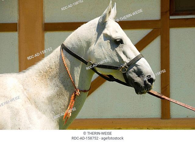 Akhal-Teke horse stud farm Ashgabat Turkmenistan Asgabat side profile