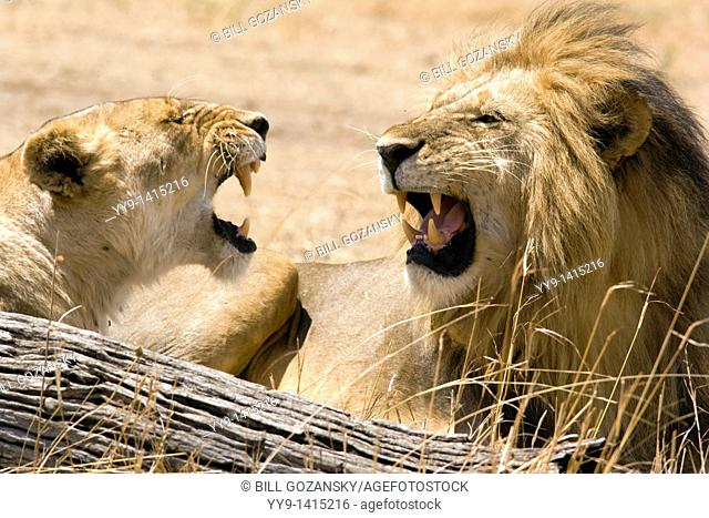 Male and Female Lion face-to-face - Masai Mara National Reserve, Kenya