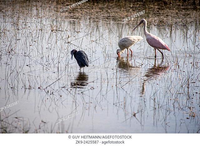 Spoonbill, Everglades NP, Florida, USA