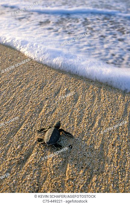 Baby Green Sea Turtle (Chelonia mydas) entering sea for the first time, Ascension Island, Atlantic Ocean