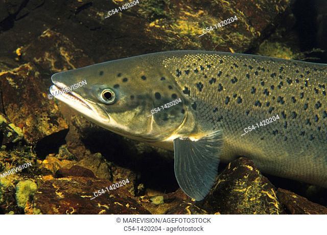 Freshwater River, Atlantic Salmon (Salmo salar), Rio Esva, Asturias, Spain