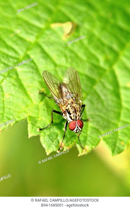 Housefly (Musca domestica, fam. Muscidae). Osseja, Languedoc-Roussillon, Pyrenees Orientales, France