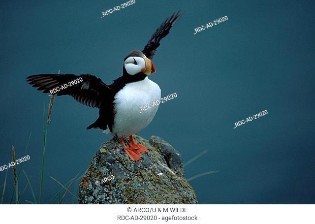 Horned Puffin Round Island Alaska USA Fratercula corniculata auks