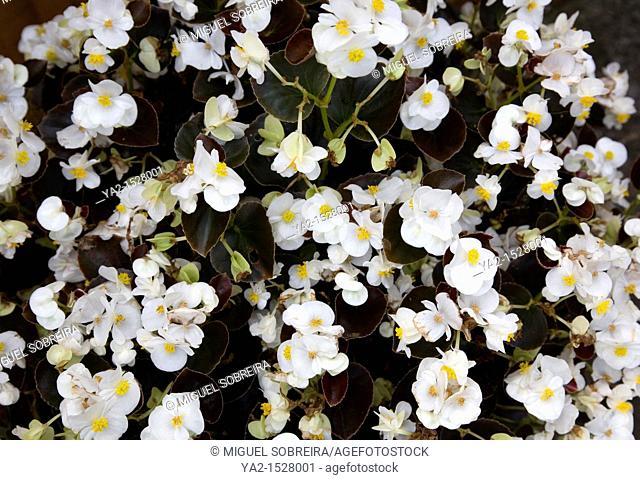 Begonia F1 Bronze Leaf White