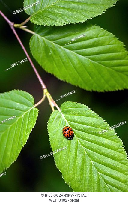 Ladybug - Pisgah National Forest - near Brevard, North Carolina, USA