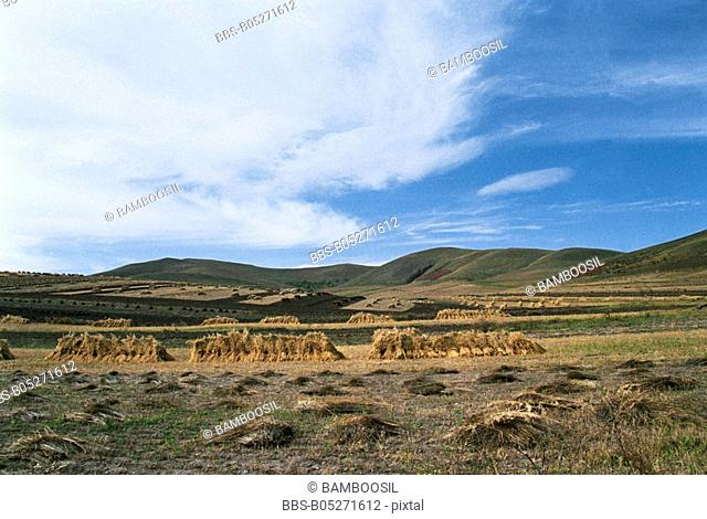Stacks of hay in field, Saibei, Guyuan County, Hebei Province of People's Republic of China