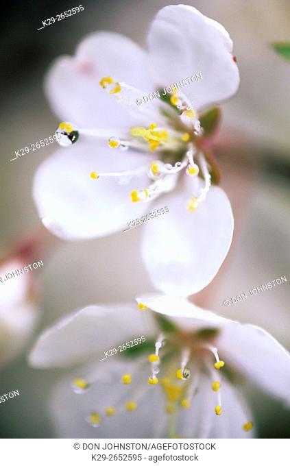 Pin cherry (Prunus pensylvanica) Flowers with rain drops, Killarney, Ontario, Canada