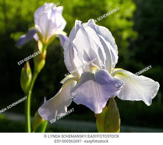 Tall bearded irises