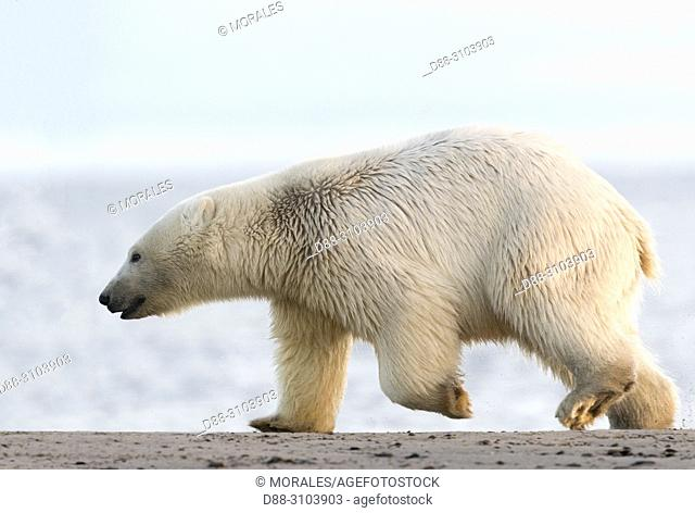 United States, Alaska, Arctic National Wildlife Refuge, Kaktovik, Polar Bear( Ursus maritimus ), walking along a barrier island outside Kaktovik, Alaska
