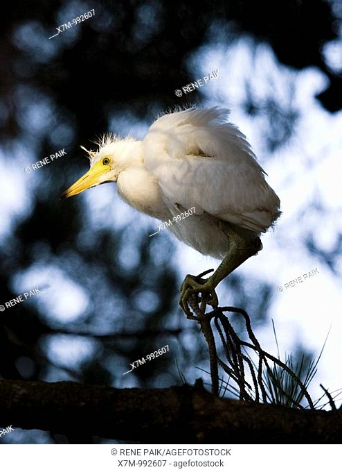 Portrait of a snowy egret Egretta thula chick looking for its nest and waiting to be rescued by its parent  The artificial estuaries and lagoons in the suburbs...