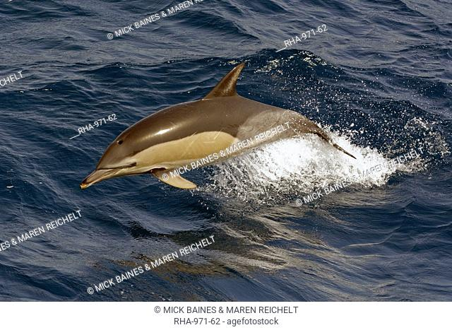 Short-beaked common dolphin (Delphinus delphis) porpoising clear of the water, Northeast Atlantic, offshore Morocco, North Africa, Africa