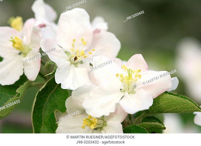 Blossom of a apple tree. Lake Constance region, Baden-Württemberg (Baden-Wuerttemberg), Germany, Europe