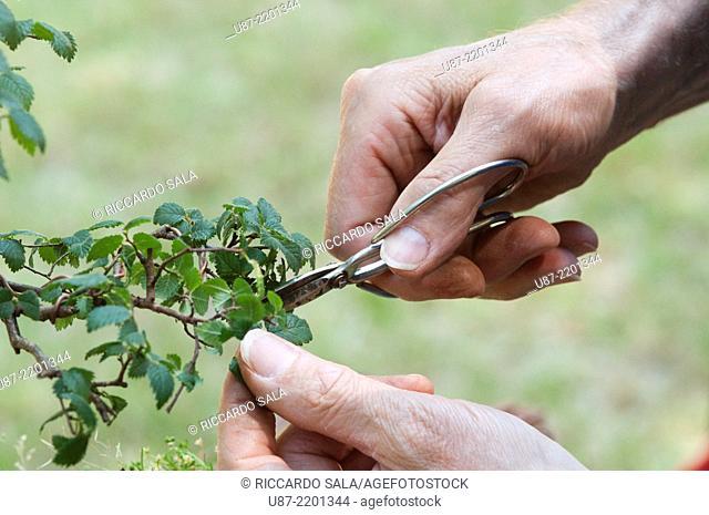 Tending Bonsai Plant