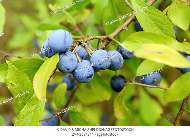 Close-up of the fruits from a blackthorn or sloe (Prunus spinosa)