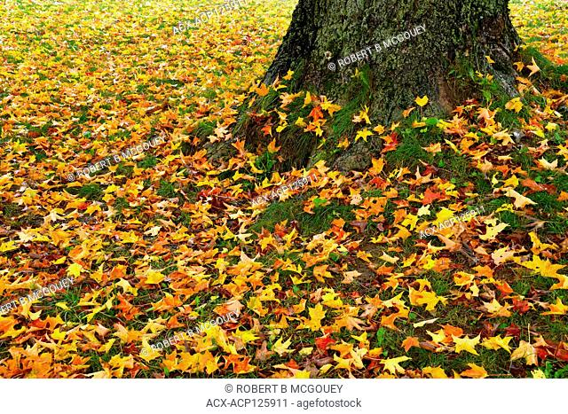Maple tree leaves cover the ground under a magnifficent large maple tree in a park like area in Sussex New Brunswick Canada