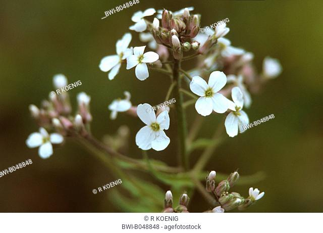 dame's-rocket, dame's-violet, garden rocket, Dame's rocket Hesperis matronalis, with white flowers, Germany