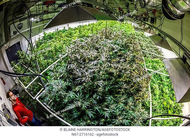 Grow room, Sticky Buds, Denver, Colorado USA
