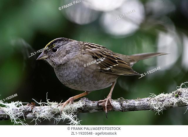 The large, handsome Golden-crowned Sparrow Zonotrichia Atricapilla is a common bird of weedy or shrubby lowlands and city edges in winter along the Pacific...