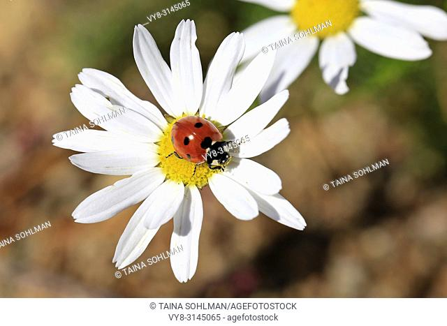 Seven Spotted Ladybug, Coccinella septempunctata, on the yellow florets of an Oxeye Daisy flower