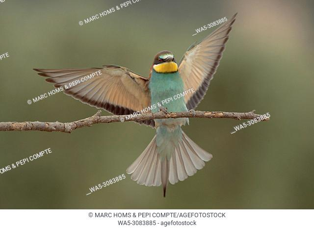 European bee-eater landing on a branch in the Garrotxa, Catalonia, Spain