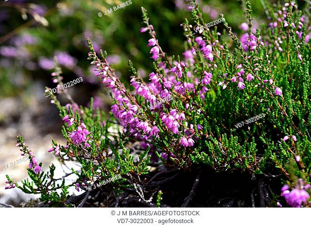 Common heather or ling (Calluna vulgaris) is a small shrub native to Europe acidic soils. This photo was taken in Aiguestortes-Sant Maurici National Park