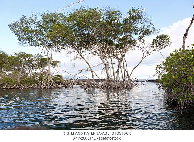 Mangrove, Punta Mangle, Fernandina Island, Galapagos Islands, Ecuador